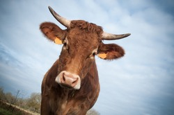 funny portrait of brown cow on sky background
