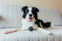 Funny portrait of cute smiling puppy dog border collie playing with toy ball on couch indoors. New lovely member of family little dog at home gazing and waiting. Pet care and animals concept