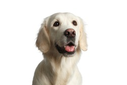 Funny Portrait of Golden Retriever Dog Looking up, Isolated on White Backgrond