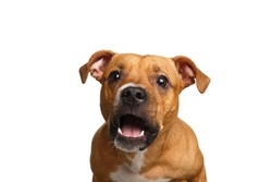 Funny Portrait of Half-breed Red Dog Catches treats with his opened mouth isolated on white background