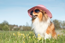 Funny portrait of sable white  shetland sheepdog with stylish straw pink hat and sunglasses. Cute lassie, sheltie, collie sitting outdoors with blue sky background. Hot summer holidays, vacation