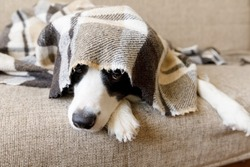 Funny portrait puppy dog border collie lying on couch under plaid indoors. Dog nose sticks out from under plaid close up. Pet keeps warm under blanket in cold winter weather. Pet care animal life