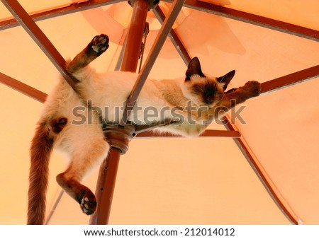 funny position thai cat resting and relaxing under parasol