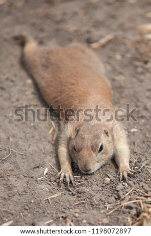 funny prairie dog went out for a walk, the wild life of the fauna of North America