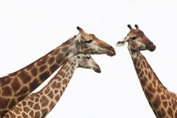 Funny profile photo of neck and head of tree giraffes with white background in Kruger National Park, South Africa.