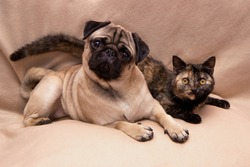 Funny pug and cute turtle color cat lying together on sofa
