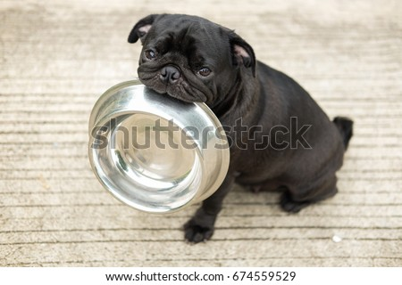 Funny pug dog bite stainless bowl wait  to eat dog food on concrete floor.