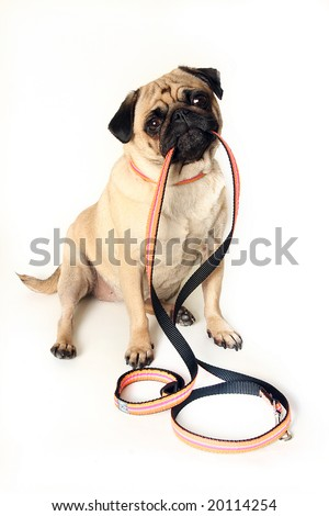 Funny Pug holding a leash in her mouth.  Isolated on white.