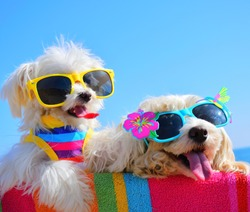 funny puppies with sunglasses an the beach