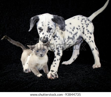 Funny puppy and kitten photo with a not so happy kitten playing with a Dalmatia puppy that just wants to be friends.