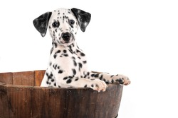funny puppy dalmatian into a wood vase