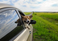 funny puppy dog red Corgi pretty sticks out his face with his eyes closed and paws out of the car window during a trip on a country road on a warm Sunny day