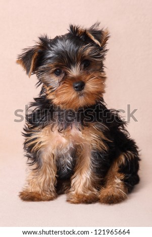 funny puppy of Yorkshire Terrier
