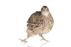 Funny Quail posing on a white background