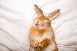 Funny rabbit sleeps on white blanket in the bed. Easter surprise
