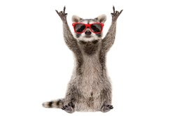 Funny raccoon in red sunglasses showing a rock gesture isolated on white background