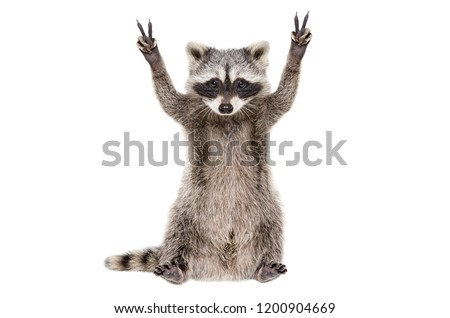 Funny raccoon, showing a sign peace, isolated on white background