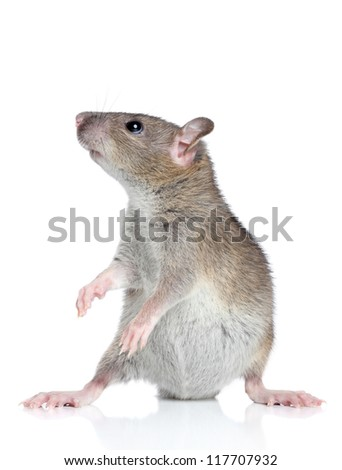 Funny rat posing on a white background - stock photo