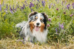 Funny Red And White Australian Shepherd Dog Resting In Green Grass With Purple Blooming Flowers. Aussie Is A Medium-sized Breed Of Dog That Was Developed On Ranches In The Western United States