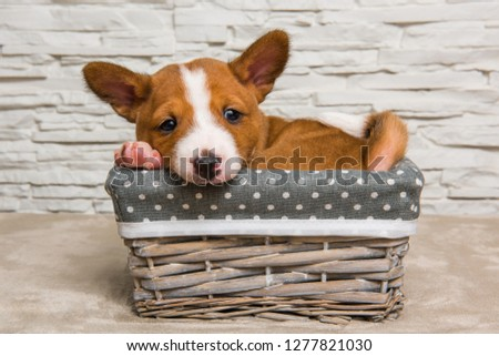 Funny red Basenji puppy dog in the basket, greeting card #1277821030