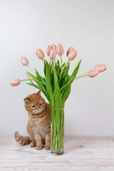 funny red cat and vase with bouquet of pink flower on the table close up. cute fluffy domestic kitten with beautiful tulip postcard isolated. young healthy cat on white background with space for text