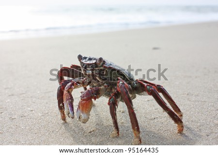 Funny red crab on the beach in Varkala, Kerala, India