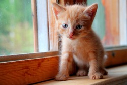 Funny red cute kitten. Ginger red kitten on window. Long haired red kitten. Sweet adorable kitty on natural wood background. Little baby cat looking with small blue eyes. Tiny kitty pet alone at home