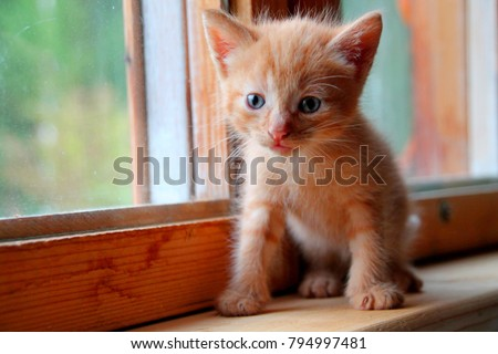 Funny red kitten. Ginger red kitten on window. Long haired red kitten. Sweet adorable red kitten on natural wood background. Little baby cat looking on camera small blue eyes. Tiny kitty alone at home - Shutterstock ID 794997481