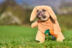 Funny red pied French Bulldog dog dressed up as Easter bunny wearing full body rabbit costume with hanging ears and fake arms with carrot