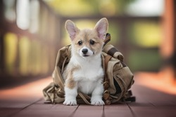 Funny red welsh corgi pembroke puppy sitting in a brown fabric and leather backpack on a red wooden bridge against the backdrop of a bright summer landscape. Looking into the camera