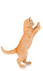 Funny redhead cat standing, isolated on white