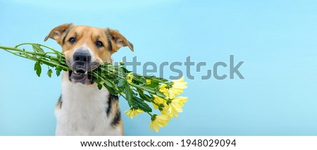 Funny romantic dog holding a flower bouquet of chrysanthemum in its teeth or mouth on the blue background. Tricolor dog congratulating or celebrating mother's day. International women's day. Foto stock ©