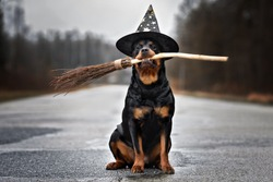 funny rottweiler dog in a wizard hat holding a broomstick