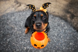 funny rottweiler dog trick or treating