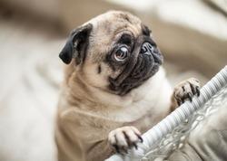Funny sad pug with sad begging eyes. Lovely pet dog emotions