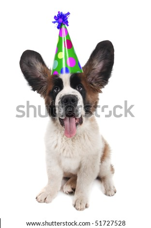 Funny Saint Bernard With a Birthday Hat on With Ears Up
