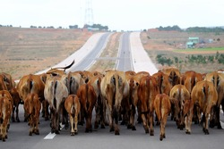 Funny scene at Vietnamese countryside at evening, herd of cows walk forward in horizontal row to coming home, behind view only croup or rump in brown at Mui Ne, Vietnam