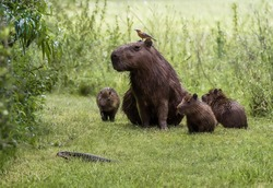 Funny scene of capybara family and a bird staring at lizard crossing their path