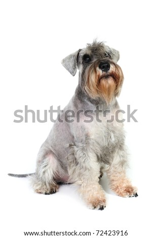 Funny Schnauzer in front of a white background in studio