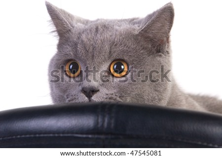 Funny Scottish cat peeping over an armchair