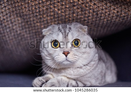 Funny Scottish Fold cat. Animal portrait  #1045286035