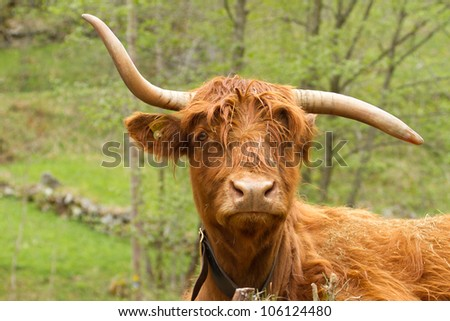 funny scottish highland-cattle
