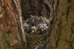Funny serious Baby birds, chiks in a nest on tree in forest