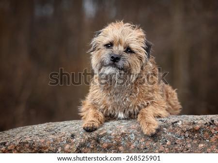 Funny shaggy dog lying on a stone. Border Terrier, portrait #268525901