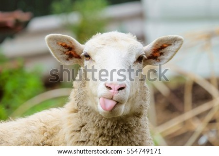 Funny sheep. Portrait of sheep showing tongue. #554749171