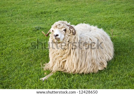 funny sheep staring and eating on grass