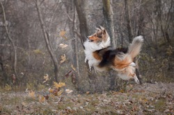 Funny shetland sheepdog jumping and playing with flying leaves