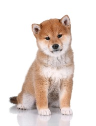 Funny Shiba Inu puppy sitting on a white background