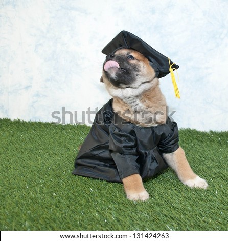Funny Shiba inu puppy wearing a cap and gown and sticking out his tongue.