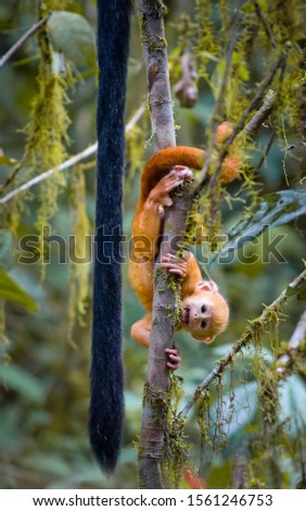 Funny shot of baby monkey (Java langur, ebony lutung, Trachypithecus auratus) hanging upside down in the cloud forest of Bromo Tengger Semeru National Park, East Java, Indonesia